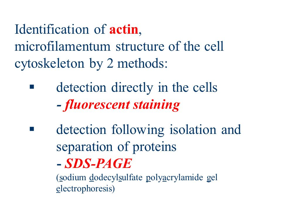  detection directly in the cells - fluorescent staining  detection following isolation and separation of proteins - SDS-PAGE (sodium dodecylsulfate polyacrylamide gel electrophoresis) Identification of actin, microfilamentum structure of the cell cytoskeleton by 2 methods: