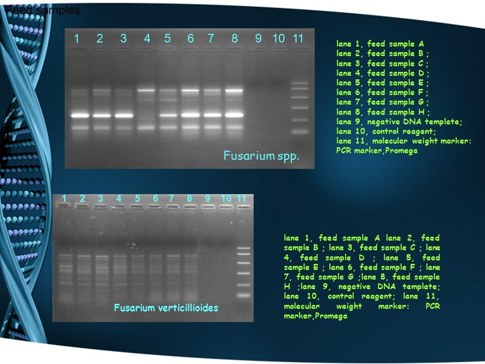 Feed samples lane 1, feed sample A lane 2, feed sample B ; lane 3, feed sample C ; lane 4, feed sample D ; lane 5, feed sample E ; lane 6, feed sample F ; lane 7, feed sample G ; lane 8, feed sample H ; lane 9, negative DNA template; lane 10, control reagent; lane 11, molecular weight marker: PCR marker,Promega 1 2 3 4 5 6 7 8 9 10 11 lane 1, feed sample A lane 2, feed sample B ; lane 3, feed sample C ; lane 4, feed sample D ; lane 5, feed sample E ; lane 6, feed sample F ; lane 7, feed sample G ;lane 8, feed sample H ;lane 9, negative DNA template; lane 10, control reagent; lane 11, molecular weight marker: PCR marker,Promega Fusarium spp.