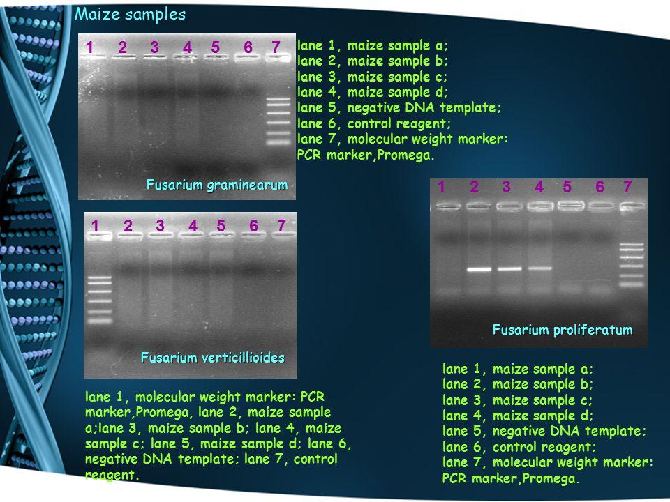 Maize samples lane 1, maize sample a; lane 2, maize sample b; lane 3, maize sample c; lane 4, maize sample d; lane 5, negative DNA template; lane 6, control reagent; lane 7, molecular weight marker: PCR marker,Promega.