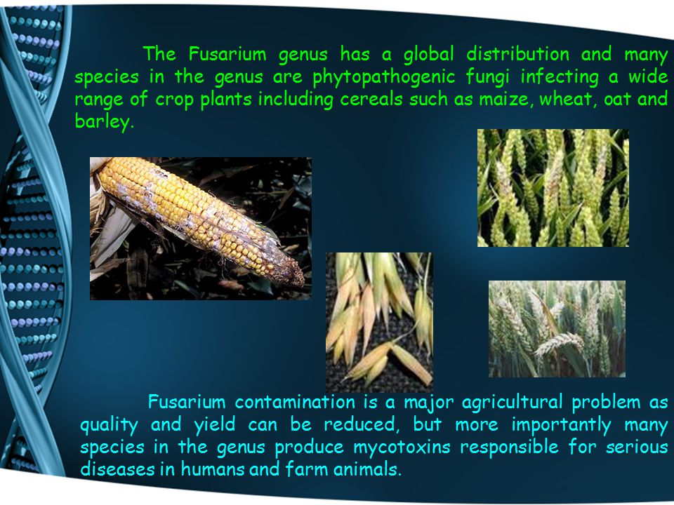 The Fusarium genus has a global distribution and many species in the genus are phytopathogenic fungi infecting a wide range of crop plants including c