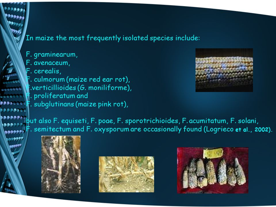 In maize the most frequently isolated species include: F. graminearum, F. avenaceum, F. cerealis, F. culmorum (maize red ear rot), F.verticillioides (