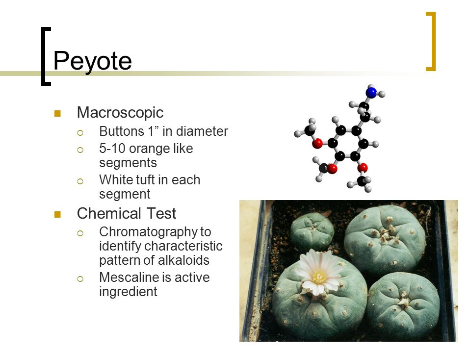 "Peyote Macroscopic  Buttons 1"" in diameter  5-10 orange like segments  White tuft in each segment Chemical Test  Chromatography to identify charac"