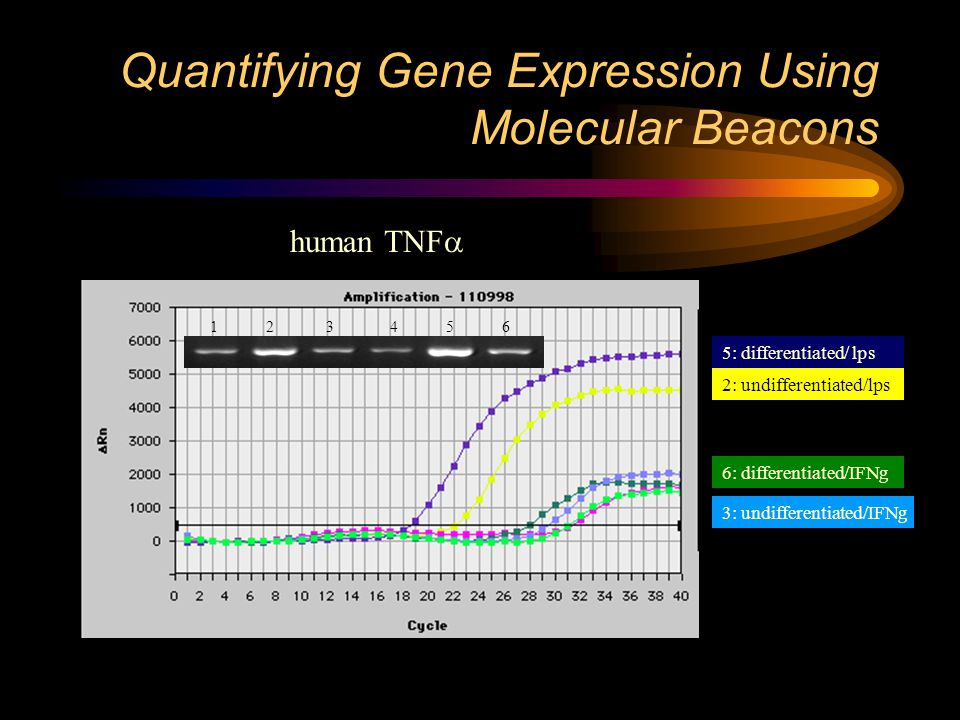 Quantifying Gene Expression Using Molecular Beacons 5: differentiated/ lps 2: undifferentiated/lps 6: differentiated/IFNg 3: undifferentiated/IFNg 1 2 3 4 5 6 human TNF 