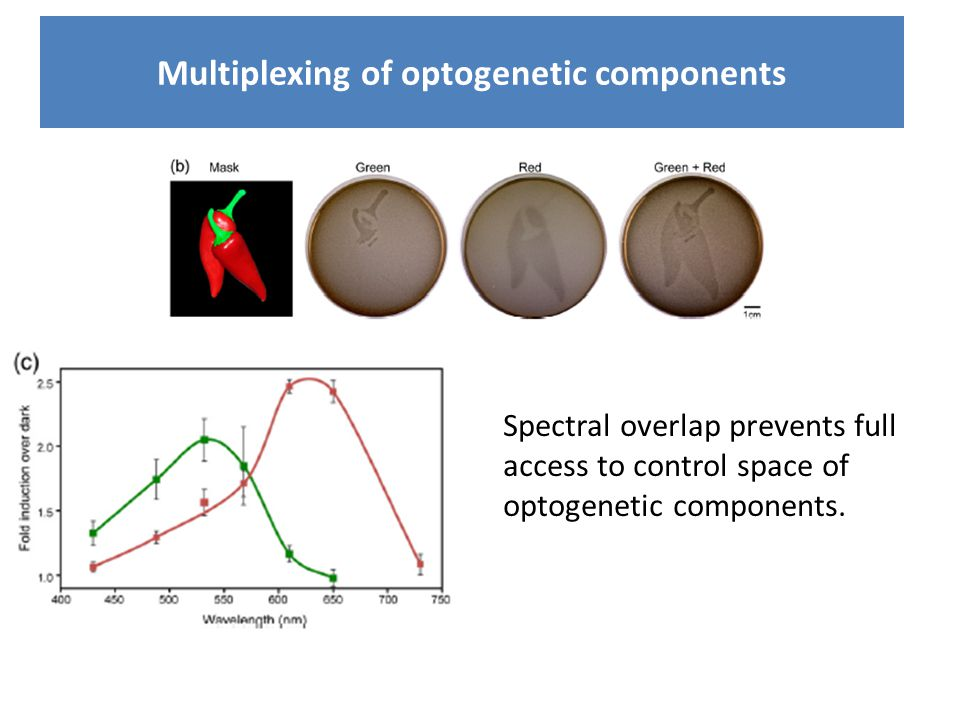 Multiplexing of optogenetic components Spectral overlap prevents full access to control space of optogenetic components.