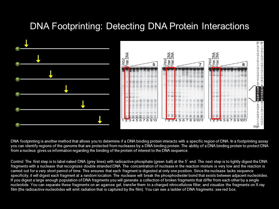 DNA Footprinting: Detecting DNA Protein Interactions DNA footprinting is another method that allows you to determine if a DNA binding protein interact
