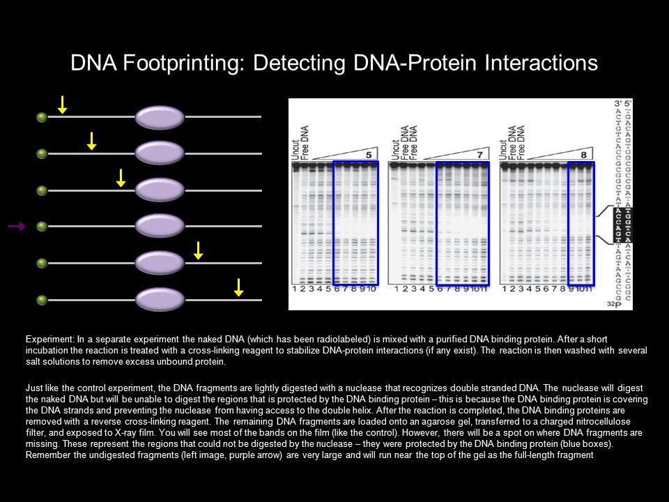 DNA Footprinting: Detecting DNA-Protein Interactions Experiment: In a separate experiment the naked DNA (which has been radiolabeled) is mixed with a purified DNA binding protein.