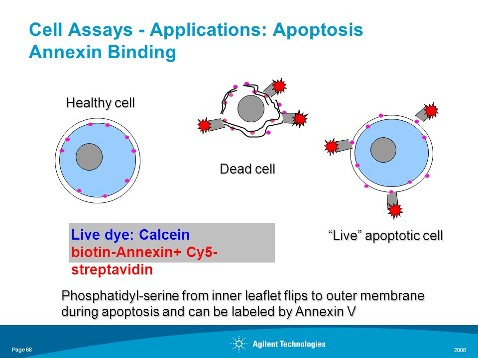 Page 68 2008 Cell Assays - Applications: Apoptosis Annexin Binding Phosphatidyl-serine from inner leaflet flips to outer membrane during apoptosis and can be labeled by Annexin V Healthy cell Live apoptotic cell Dead cell Live dye: Calcein biotin-Annexin+ Cy5- streptavidin