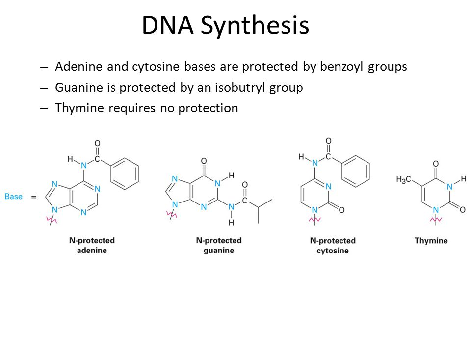 – Adenine and cytosine bases are protected by benzoyl groups – Guanine is protected by an isobutryl group – Thymine requires no protection DNA Synthesis