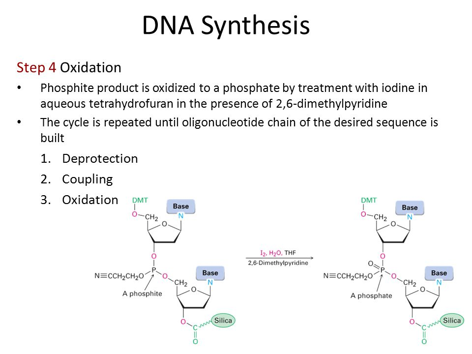 Step 4 Oxidation Phosphite product is oxidized to a phosphate by treatment with iodine in aqueous tetrahydrofuran in the presence of 2,6-dimethylpyridine The cycle is repeated until oligonucleotide chain of the desired sequence is built 1.Deprotection 2.Coupling 3.Oxidation DNA Synthesis