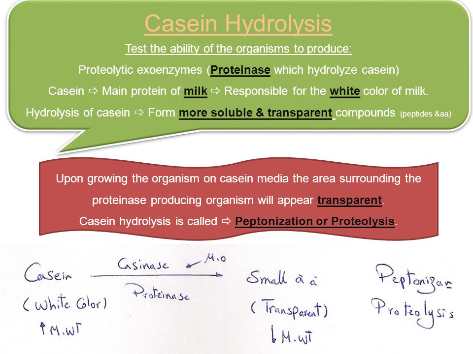 Casein Hydrolysis Test the ability of the organisms to produce: Proteolytic exoenzymes (Proteinase which hydrolyze casein) Casein  Main protein of milk  Responsible for the white color of milk.