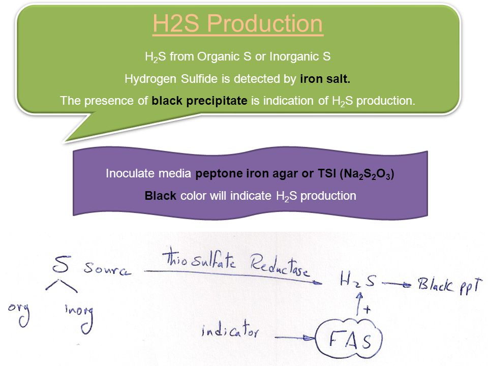 H2S Production H 2 S from Organic S or Inorganic S Hydrogen Sulfide is detected by iron salt.