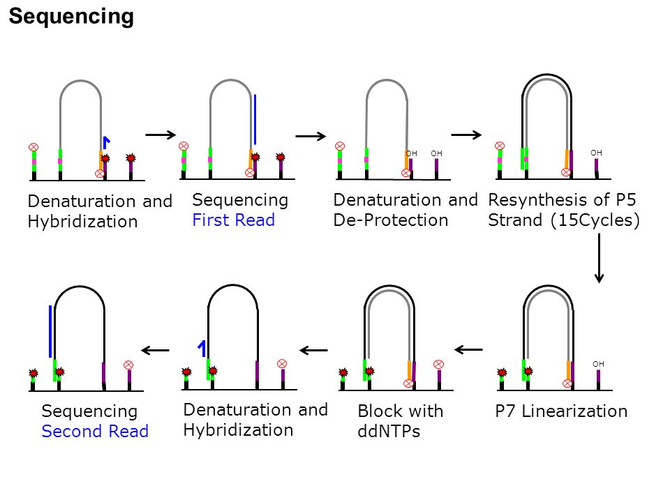 Sequencing Denaturation and Hybridization Sequencing First Read Denaturation and De-Protection OH Resynthesis of P5 Strand (15Cycles) OH P7 Linearizat