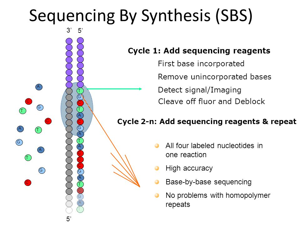Sequencing By Synthesis (SBS) 5'5' G T C A G T C A G T C A G T 3'3' 5'5' C A G T C A T C A C C T A G C G T A First base incorporated Cycle 1: Add sequ