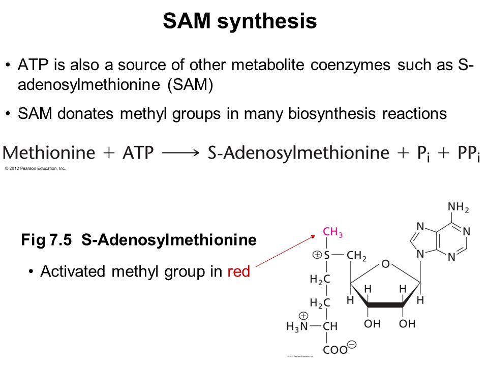 SAM synthesis ATP is also a source of other metabolite coenzymes such as S- adenosylmethionine (SAM) SAM donates methyl groups in many biosynthesis reactions Activated methyl group in red Fig 7.5 S-Adenosylmethionine