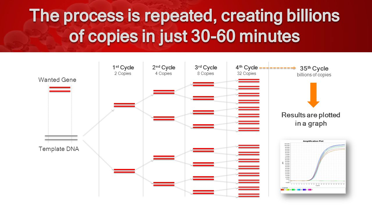 A p Template DNA Wanted Gene 1 st Cycle 2 Copies 2 nd Cycle 4 Copies 3 rd Cycle 8 Copies 4 th Cycle 32 Copies 35 th Cycle billions of copies Results are plotted in a graph