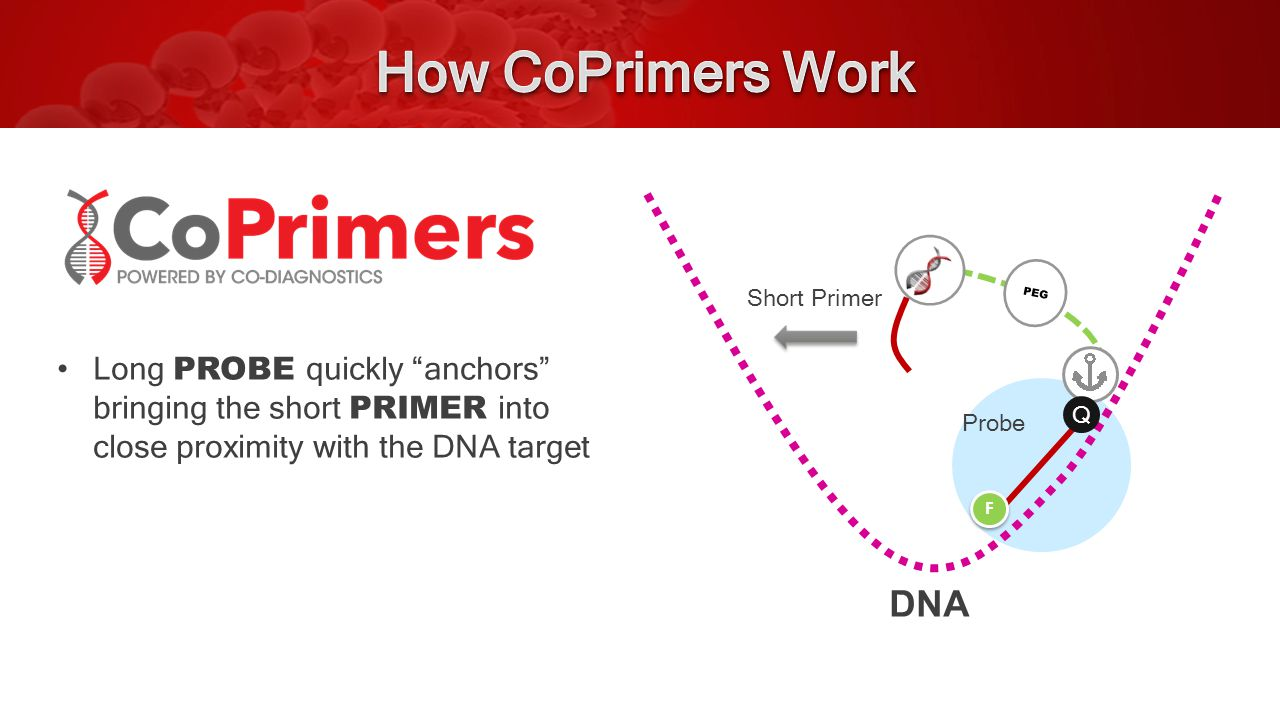 Long PROBE quickly anchors bringing the short PRIMER into close proximity with the DNA target PEG Probe Q F F DNA Short Primer