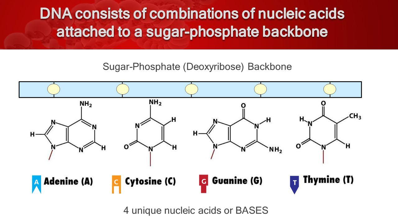 Sugar / Phosphate Backbone (deoxyribose) Bases Pairs (ATCG) (nucleic acids)
