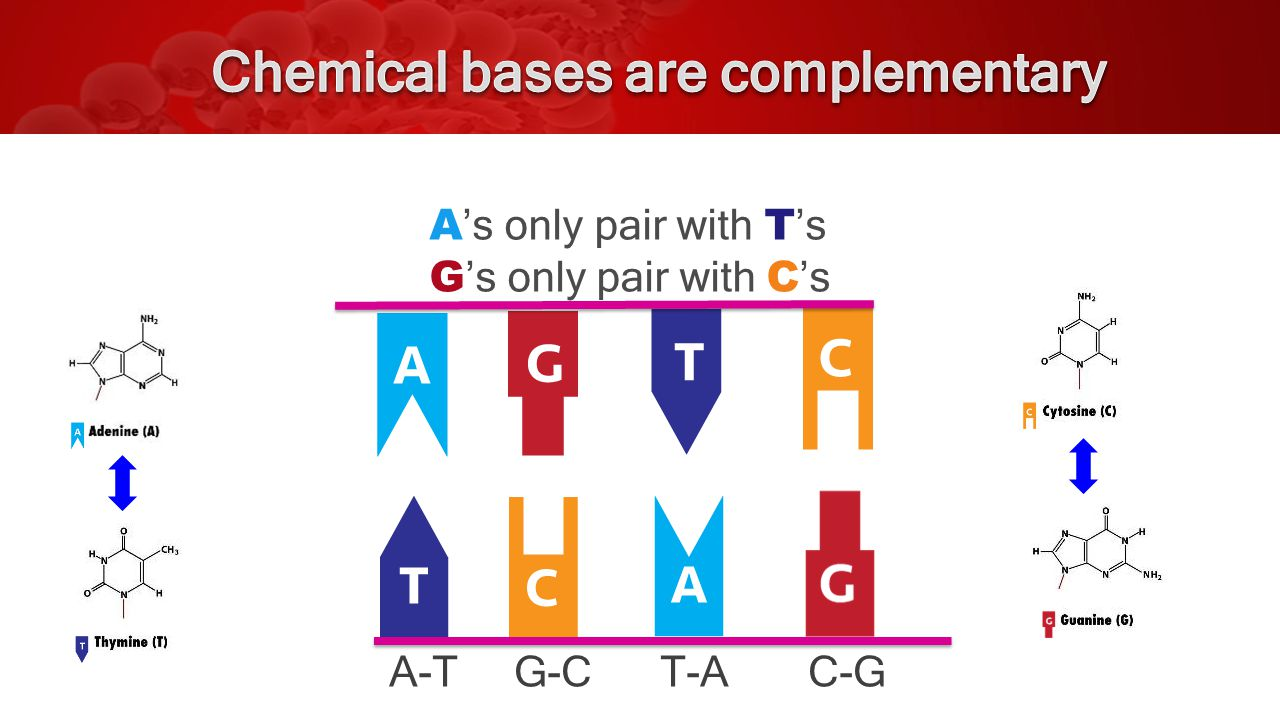 A-T G-C T-A C-G A 's only pair with T 's G 's only pair with C 's