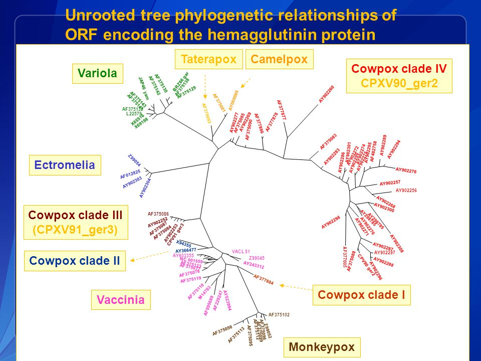 Unrooted tree phylogenetic relationships of ORF encoding the hemagglutinin protein