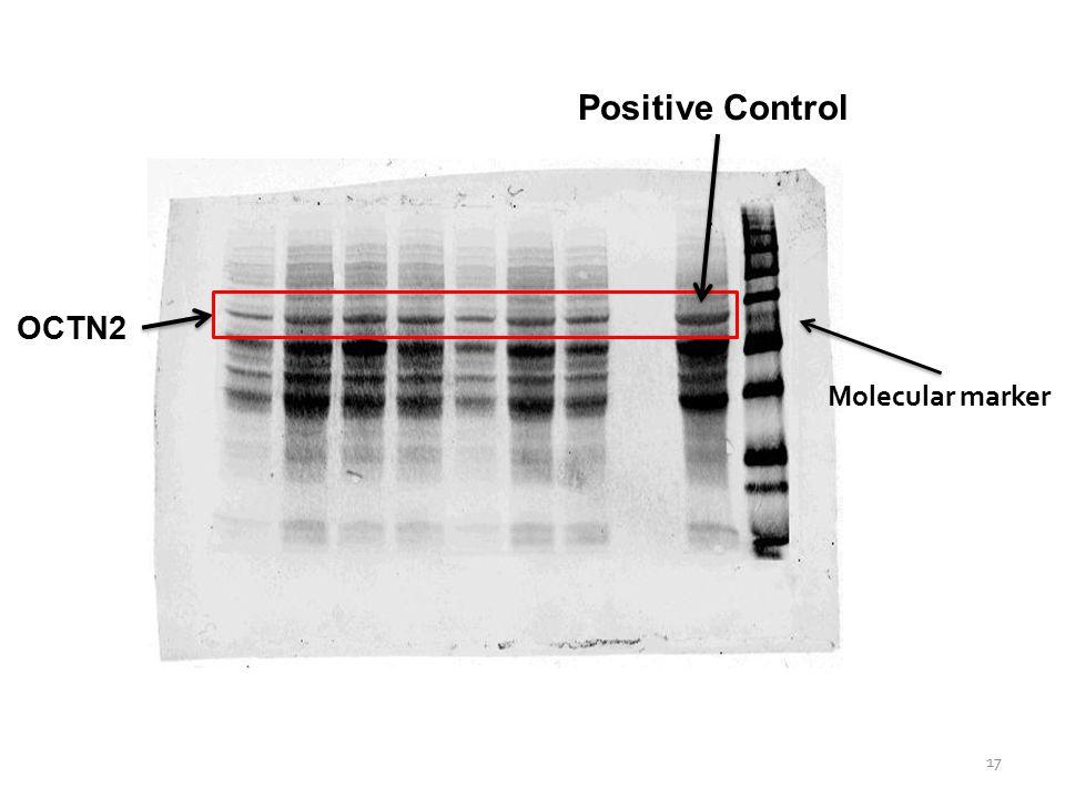 OCTN2 Positive Control Molecular marker 17