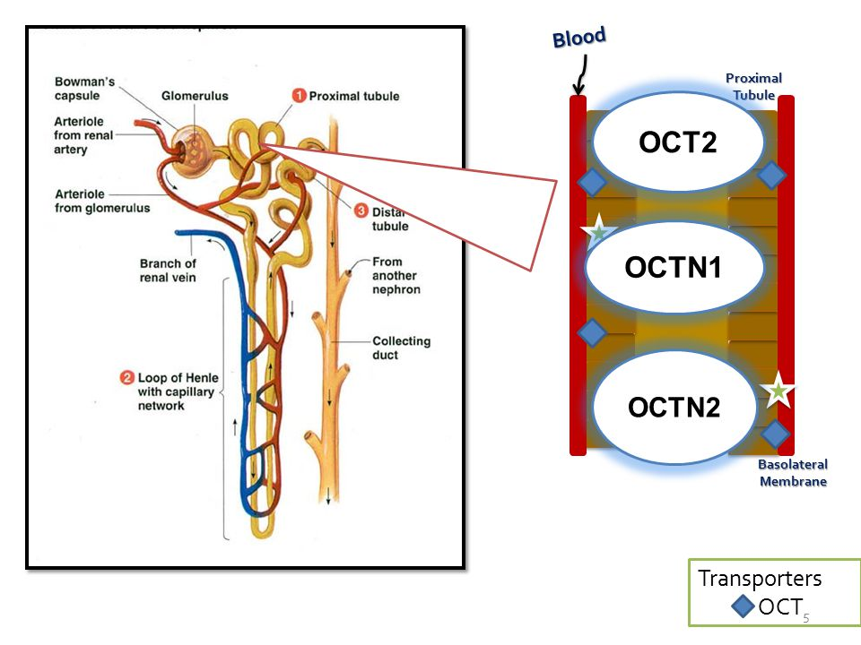 Blood Proximal Tubule LUMEN BasolateralMembrane Transporters OCT OCT2 OCTN1 OCTN2 5