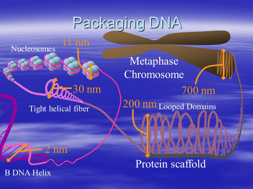 Packaging DNA G C A T Protein scaffold Metaphase Chromosome 700 nm 11 nm 30 nm 200 nm 2 nm Looped Domains Nucleosomes B DNA Helix Tight helical fiber