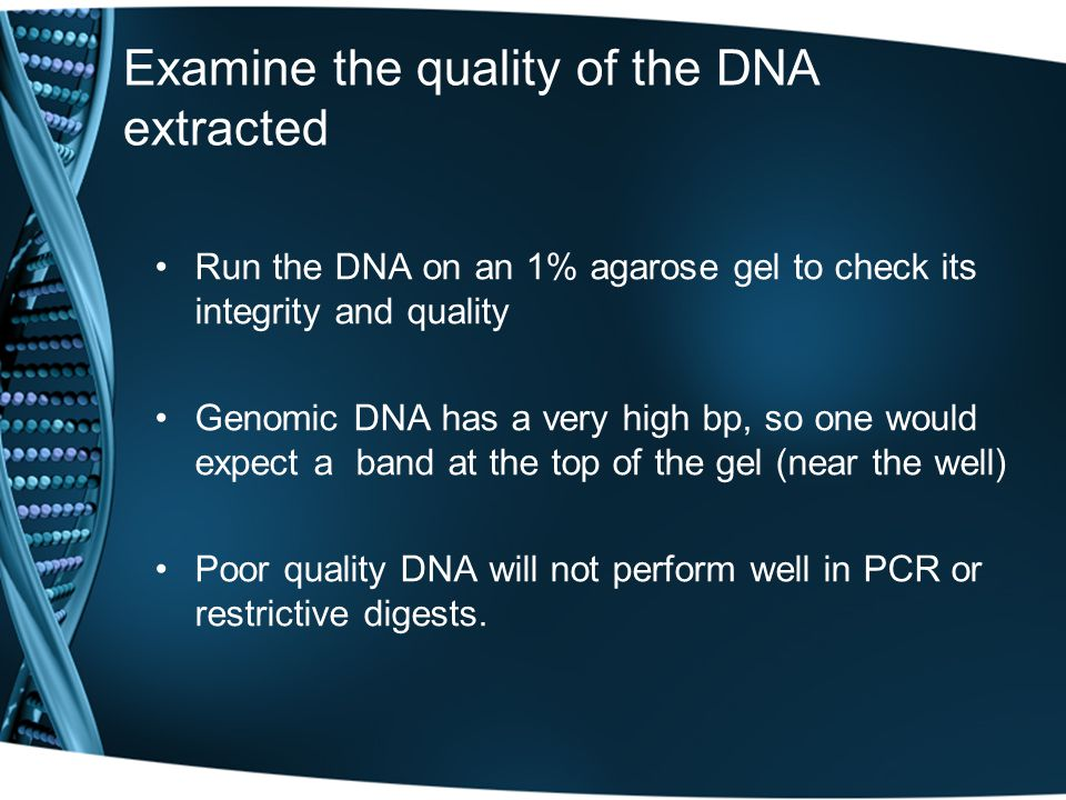 Examine the quality of the DNA extracted Run the DNA on an 1% agarose gel to check its integrity and quality Genomic DNA has a very high bp, so one would expect a band at the top of the gel (near the well) Poor quality DNA will not perform well in PCR or restrictive digests.