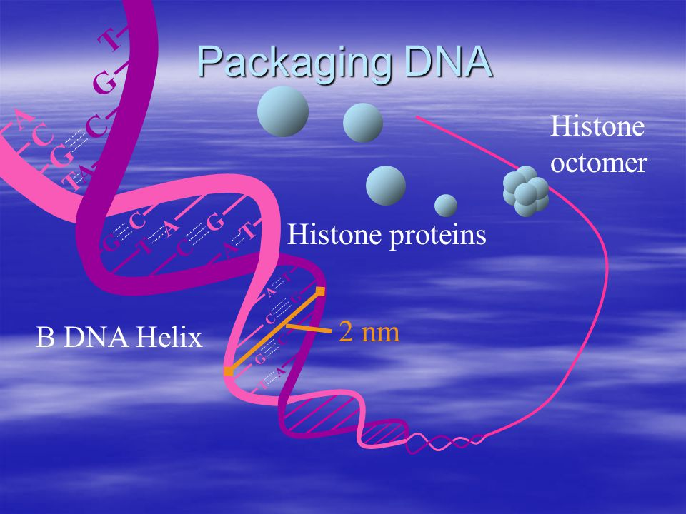 A T T A G C C G G C TATA T A G C C G G C T A A T Packaging DNA Histone proteins Histone octomer B DNA Helix 2 nm