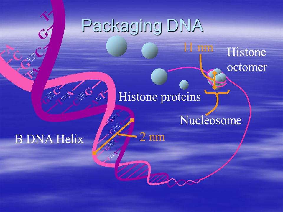 A T T A G C C G G C TATA T A G C C G G C T A A T Packaging DNA Histone proteins Histone octomer Nucleosome 11 nm B DNA Helix 2 nm