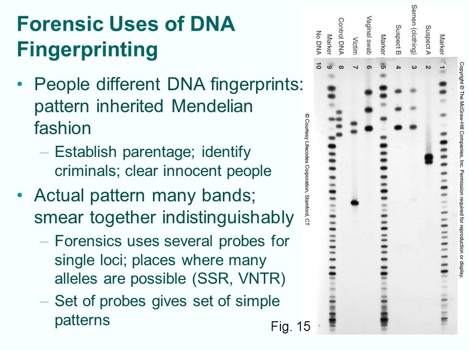 5-19 Forensic Uses of DNA Fingerprinting People different DNA fingerprints: pattern inherited Mendelian fashion –Establish parentage; identify criminals; clear innocent people Actual pattern many bands; smear together indistinguishably –Forensics uses several probes for single loci; places where many alleles are possible (SSR, VNTR) –Set of probes gives set of simple patterns Fig.