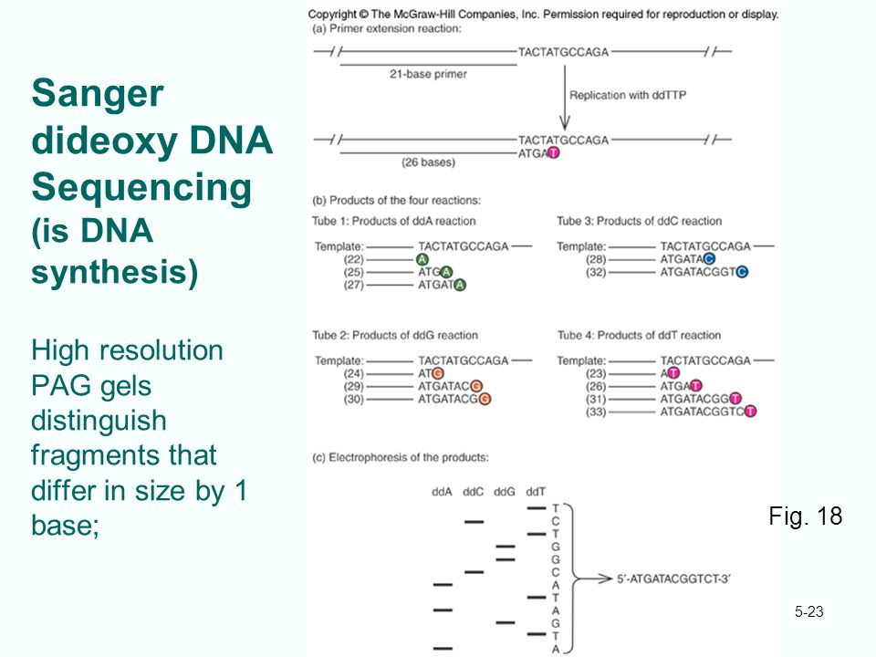 5-23 Sanger dideoxy DNA Sequencing (is DNA synthesis) High resolution PAG gels distinguish fragments that differ in size by 1 base; Fig. 18