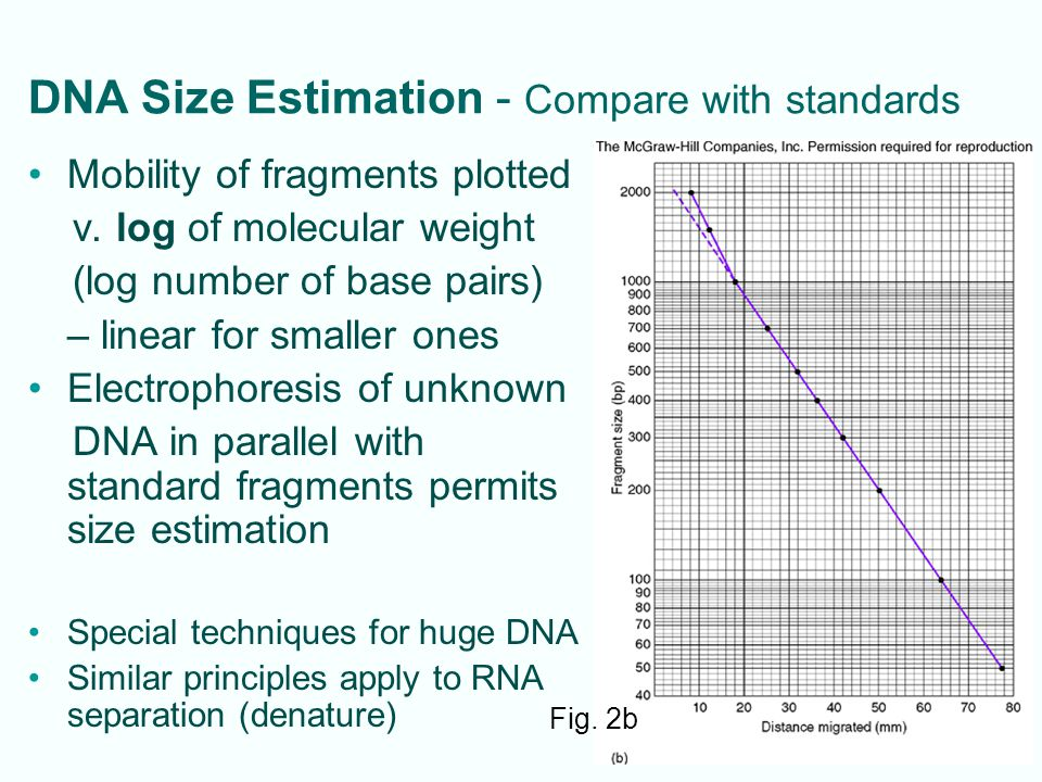 5-5 DNA Size Estimation - Compare with standards Mobility of fragments plotted v. log of molecular weight (log number of base pairs) – linear for smal