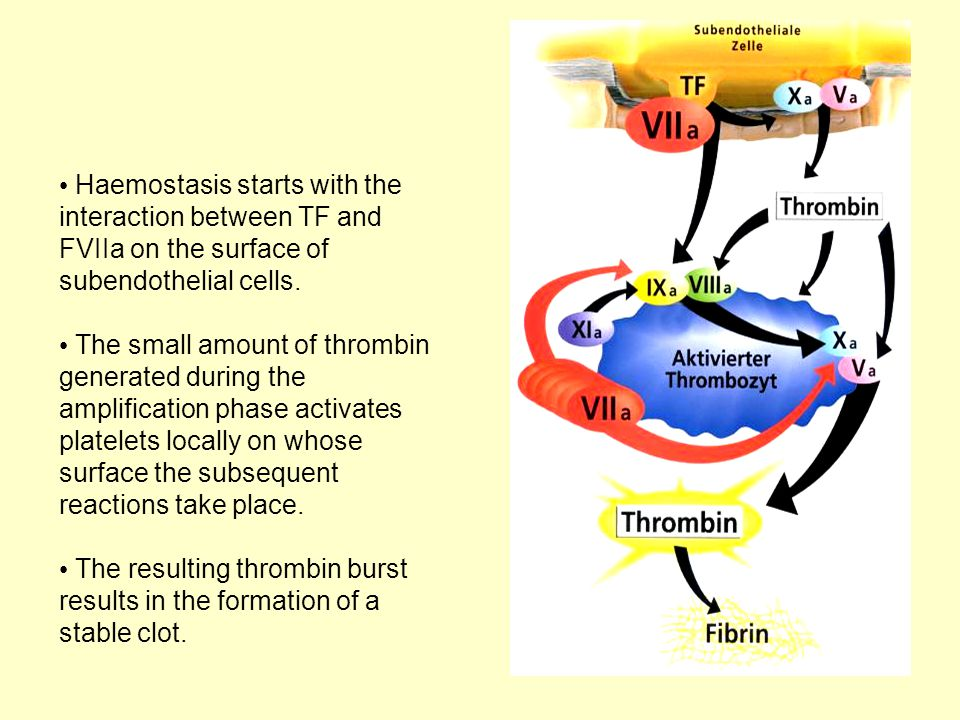 Haemostasis starts with the interaction between TF and FVIIa on the surface of subendothelial cells. The small amount of thrombin generated during the