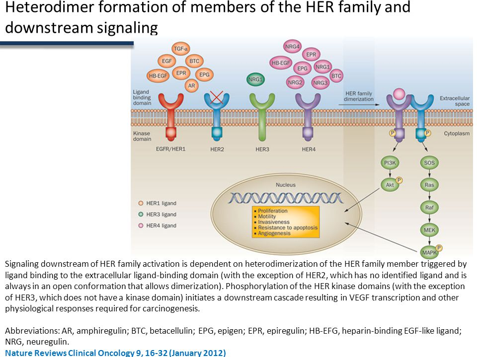 Heterodimer formation of members of the HER family and downstream signaling Signaling downstream of HER family activation is dependent on heterodimerization of the HER family member triggered by ligand binding to the extracellular ligand-binding domain (with the exception of HER2, which has no identified ligand and is always in an open conformation that allows dimerization).