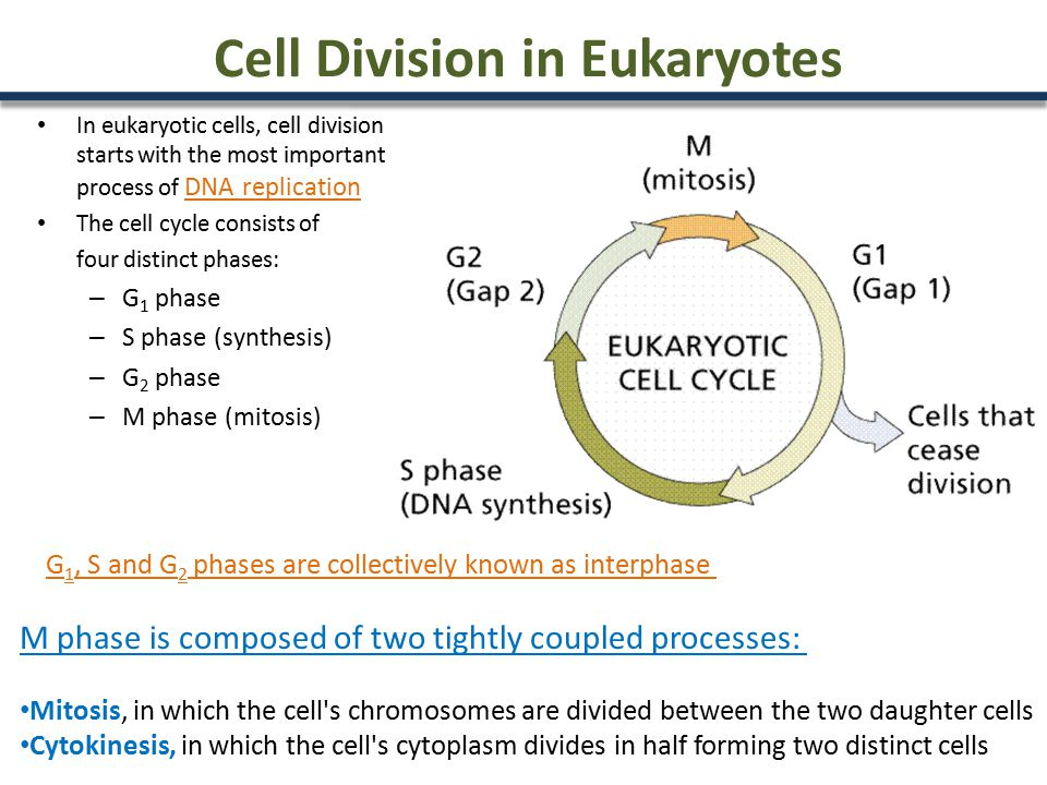 Cell Division in Eukaryotes In eukaryotic cells, cell division starts with the most important process of DNA replication The cell cycle consists of four distinct phases: – G 1 phase – S phase (synthesis) – G 2 phase – M phase (mitosis) M phase is composed of two tightly coupled processes: Mitosis, in which the cell s chromosomes are divided between the two daughter cells Cytokinesis, in which the cell s cytoplasm divides in half forming two distinct cells G 1, S and G 2 phases are collectively known as interphase