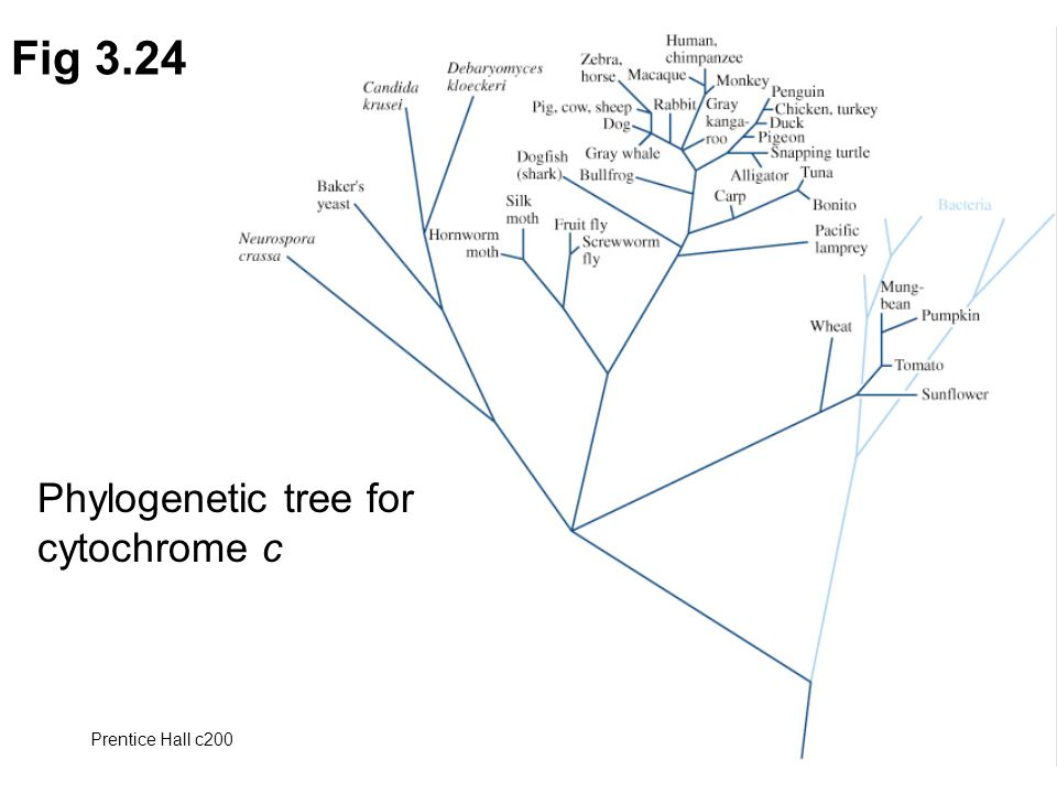 Prentice Hall c2002Chapter 372 Fig 3.24 Phylogenetic tree for cytochrome c