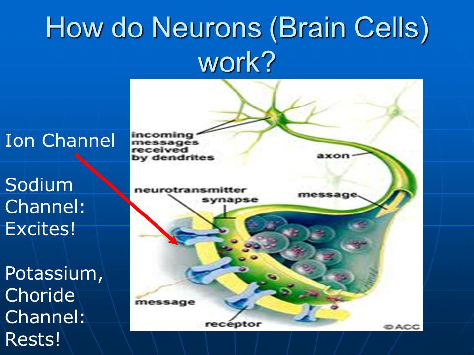 How do Neurons (Brain Cells) work? Ion Channel Sodium Channel: Excites! Potassium, Choride Channel: Rests!