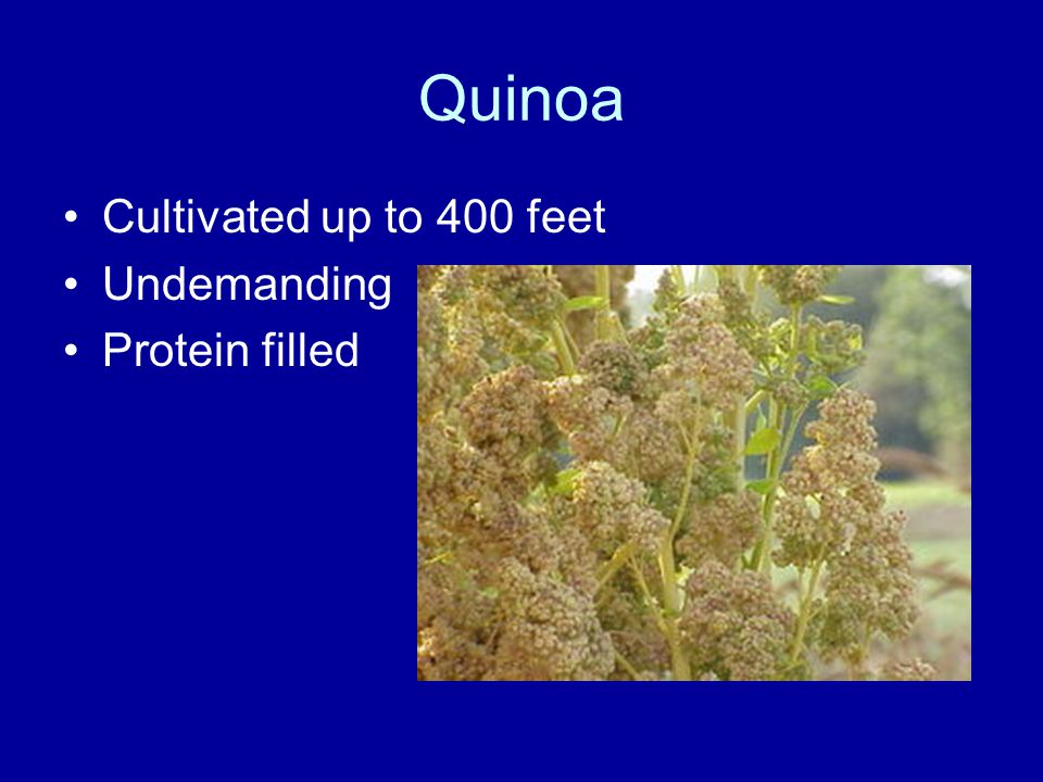 Quinoa Cultivated up to 400 feet Undemanding Protein filled