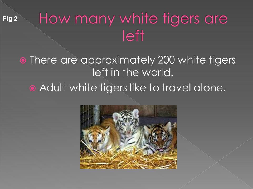  White Tigers live in the wild for about ten years, but those who live in the zoo live twice as long.