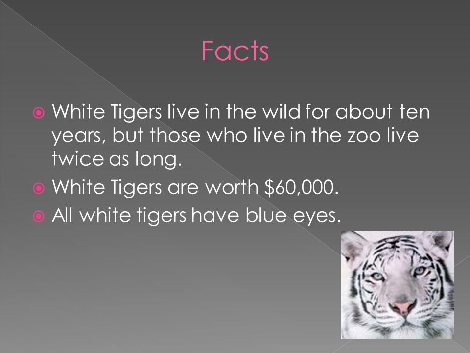  White Tigers are over hunted. They are wanted for their beautiful fur.
