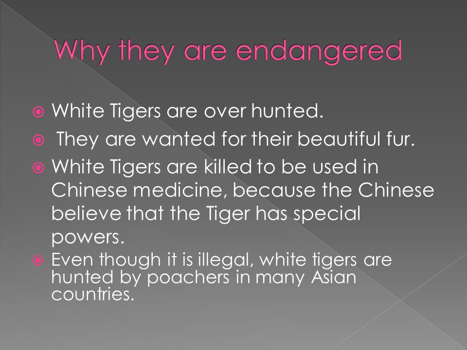  White Tigers are over hunted.  They are wanted for their beautiful fur.