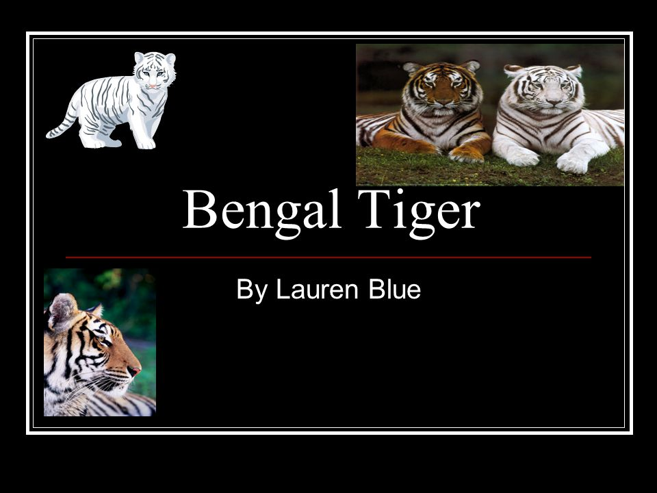 Bengal Tiger By Lauren Blue