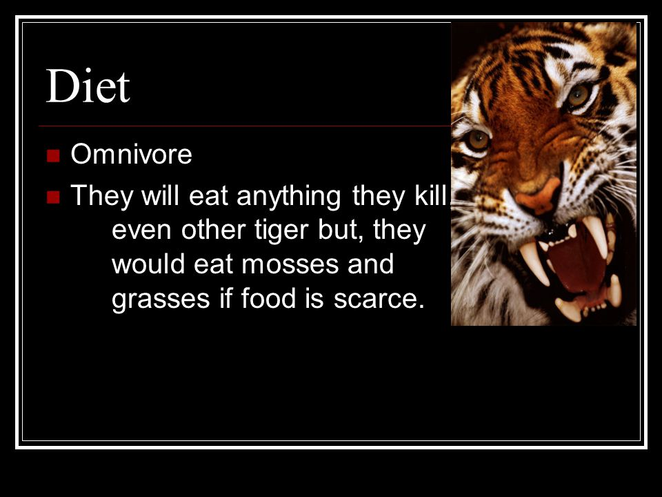 Diet Omnivore They will eat anything they kill, even other tiger but, they would eat mosses and grasses if food is scarce.