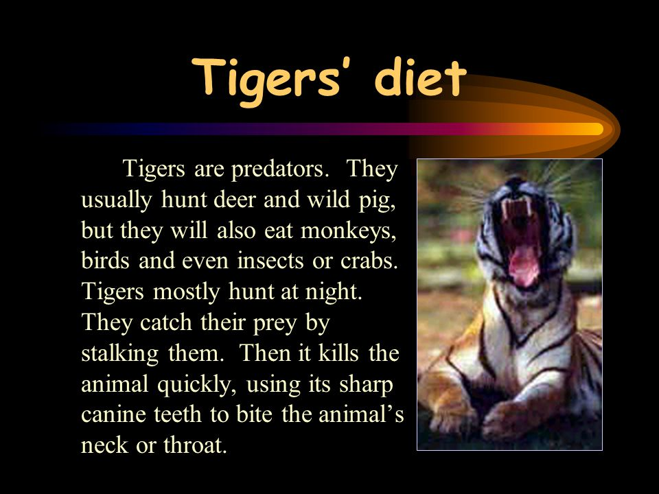 The habitat of tigers Today most tigers live in the forests of South-east Asia. Only Siberian tigers live in the very cold cedar forests of northern A
