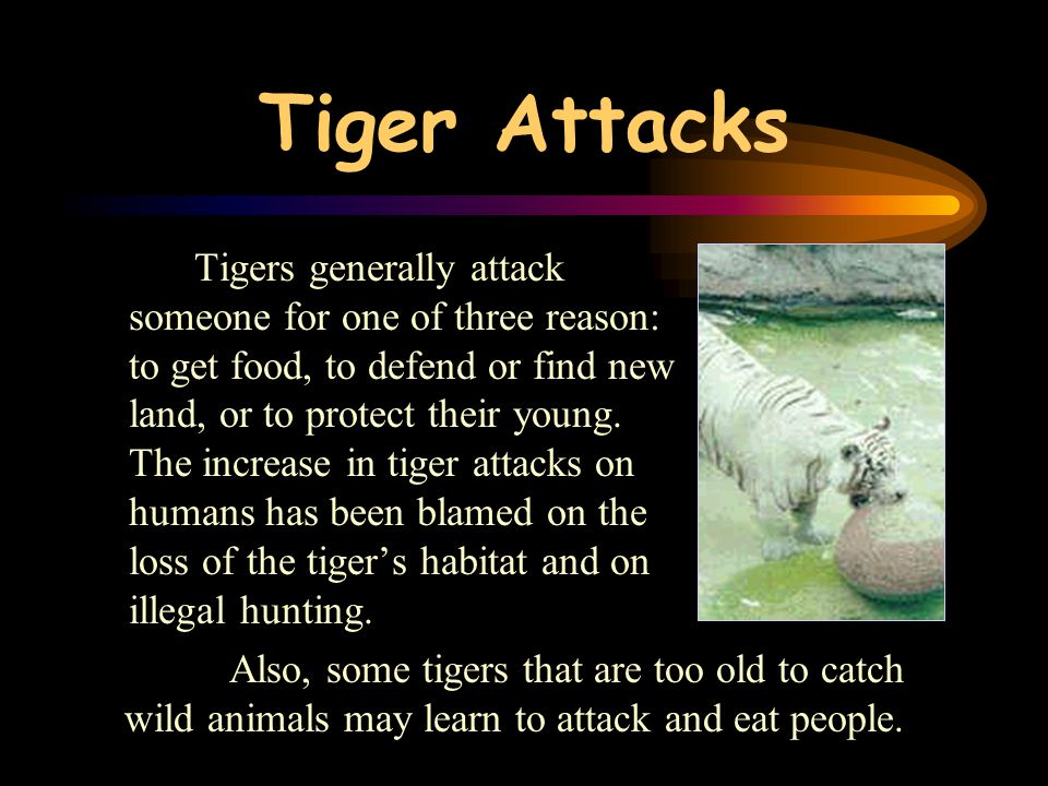 Tigers' diet Tigers are predators. They usually hunt deer and wild pig, but they will also eat monkeys, birds and even insects or crabs. Tigers mostly