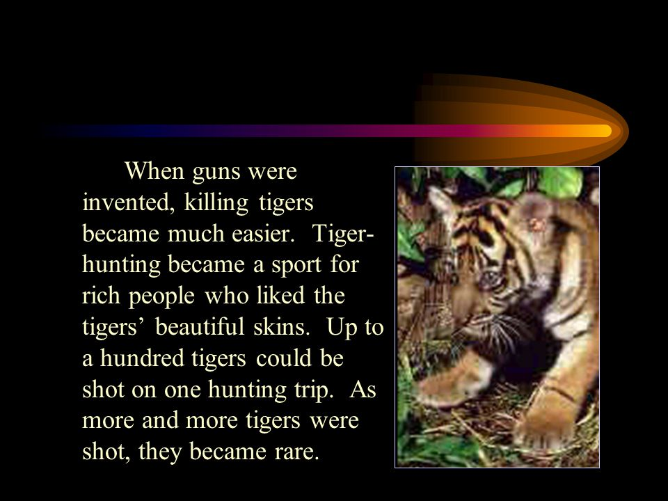 Why are tigers endangered? Thousands of years ago in Asia, humans and tigers hunted the same animals for food. People began to hunt tigers because of