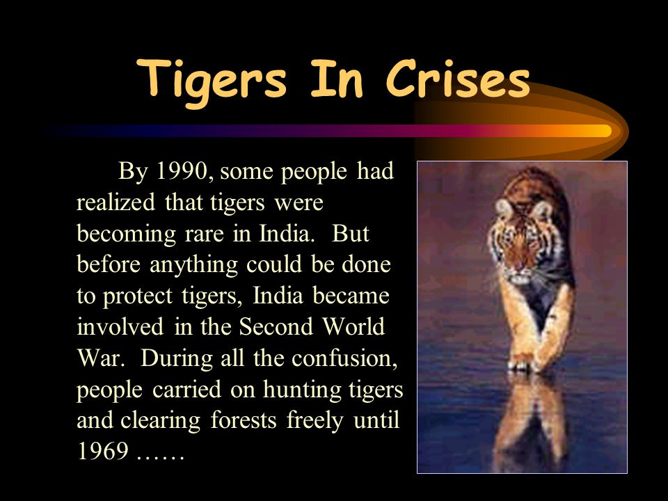 Tigers have also become rare because their forest homes have been destroyed. As the forests disappeared, the tigers and other animals that lived in th