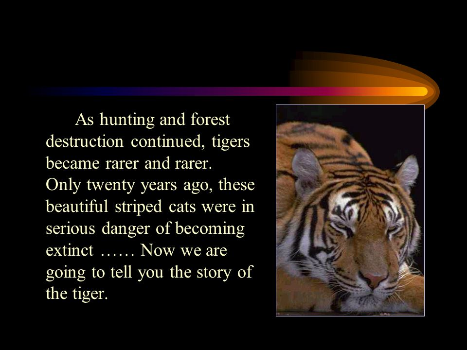 Introduction Almost everyone has seen a tiger in a zoo. But few people have seen a wild tiger. For hundred of years, tigers and humans lived around ea