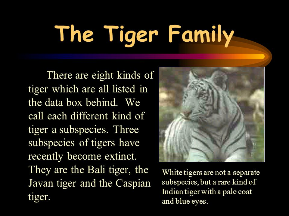 As hunting and forest destruction continued, tigers became rarer and rarer. Only twenty years ago, these beautiful striped cats were in serious danger