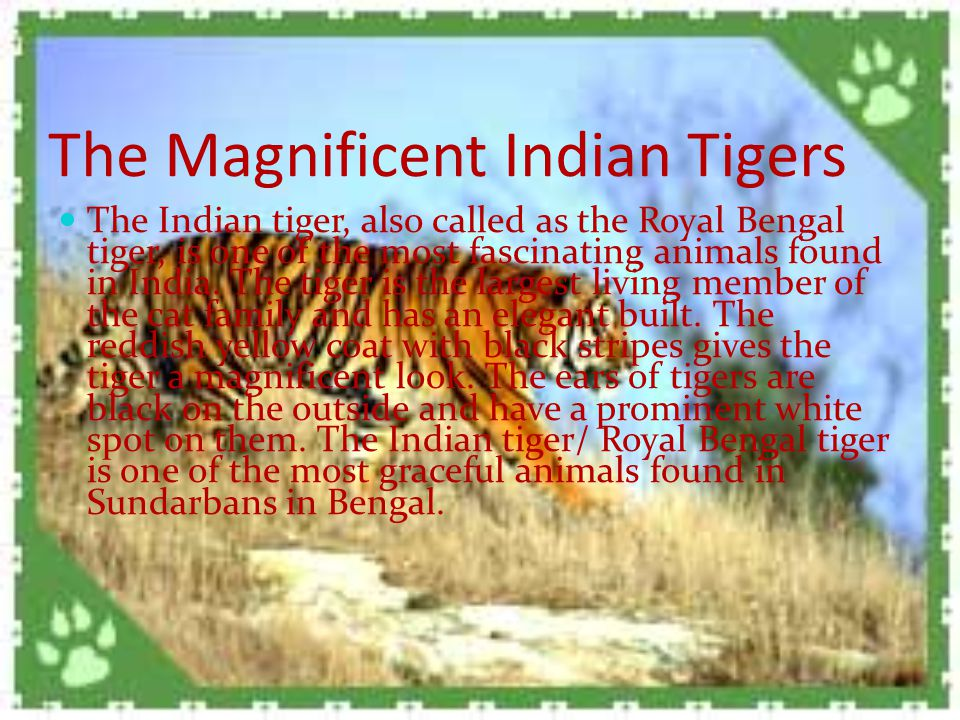 The Magnificent Indian Tigers The Indian tiger, also called as the Royal Bengal tiger, is one of the most fascinating animals found in India.